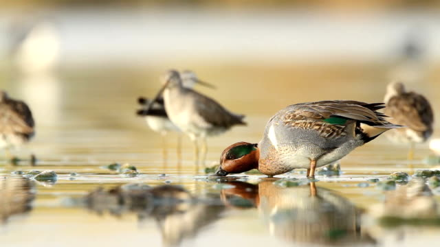 Groen - winged Teal