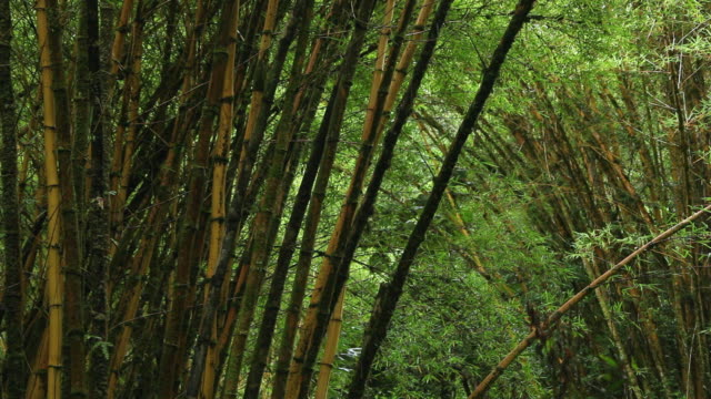 MS Gregariousness Sacred Bali bamboos and leaves growing in tropical rain forest / Honomu, Big Island,Hawaii, United States