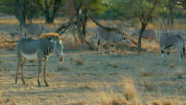Grevy'S Zebras Bothered By Bird Samburu  Kenya  Africa