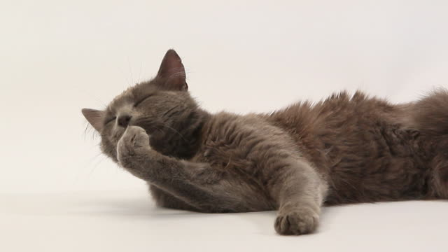 Grey angora domestic cat licking its paw against white background