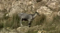Grey goat eats grass in rugged location, Spain