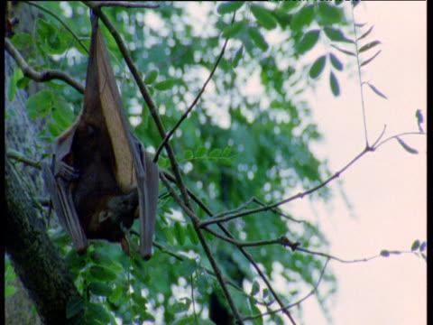 Grey headed fruit bat hangs upside down, yawns and scratches, Australia
