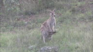 Grey kangaroo with joey in pouch.