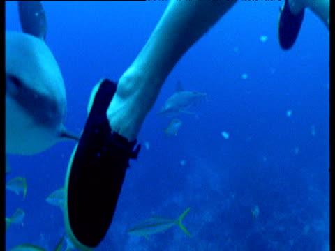Grey reef shark attacks drowning victim