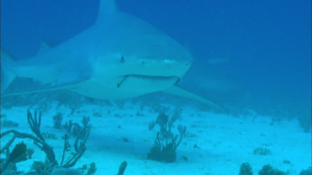 Grey reef sharks, Carcharhinus amblyrhynchos, hook in mouth. Bahamas