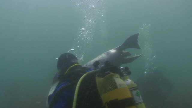 Grey Seal and Scuba Diver