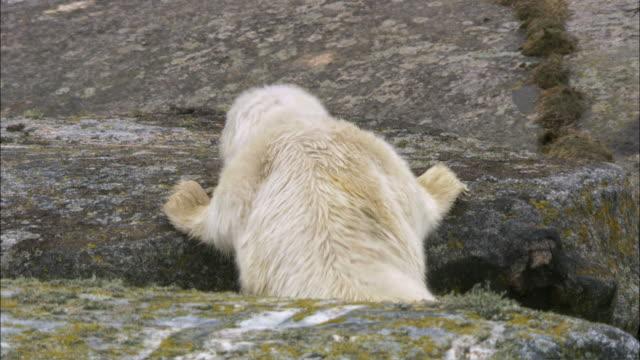 WS PAN TU Grey seal cub crawling up on rock / Sweden