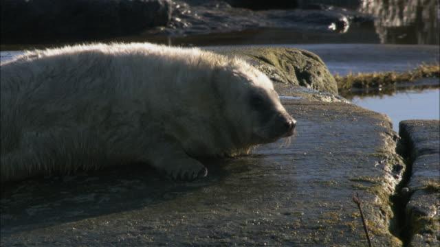 MS Grey seal cub lying on rock/ Sweden
