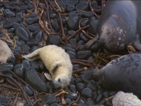 Grey seal pup lies with adults on breeding beach