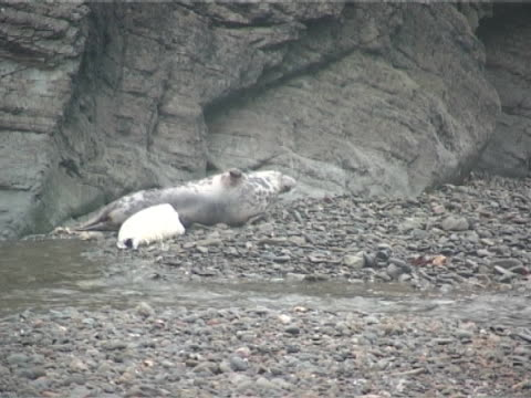 Grey seal pup suckling off mother, MWS