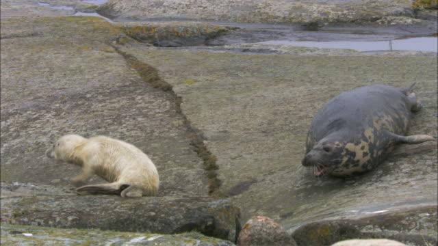 WS PAN Grey seal roaring to grey seal cub / Sweden