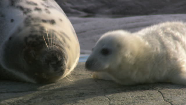 CU PAN Grey seal with grey seal cub lying on rock / Sweden