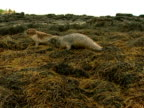 MS Grey seals (Halichoerus grypus) clumsily moving across seaweed, Norfolk, UK