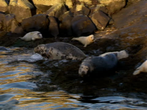 Grey seals rest on rocks and swim in sea