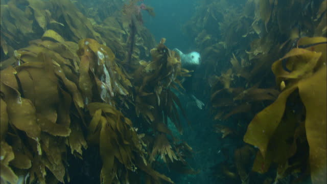 Grey seals (Halichoerus grypus) swim amongst seaweed, Atlantic Ocean, Ireland