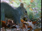 Grey squirrel buries and hides acorn in Forest of Dean, UK