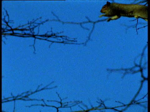 Grey squirrel leaps between branches, UK