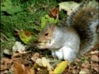 Grey squirrel, Sciurus carolinensis, finds Oak acorn, then bites growing tip out of acorn before burying it in leaf litter. England