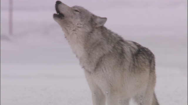 Grey wolf (Canis lupus) howls, Yellowstone, USA