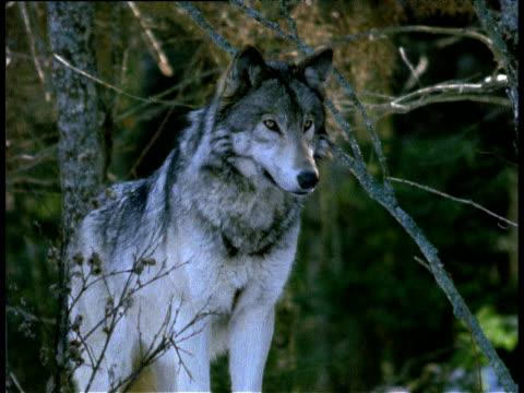 Grey wolf looking alert, watching, looking around, Halifax, Nova Scotia.