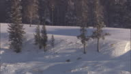 Grey wolf (Canis lupus) pack cross snowy landscape, Yellowstone, USA