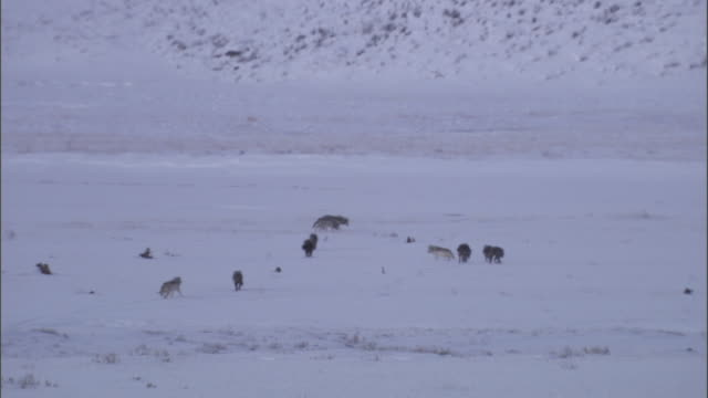Grey wolf (Canis lupus) pack on snow, Yellowstone, USA