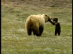 MS Grizzly bear and cub playing, Arctic circle