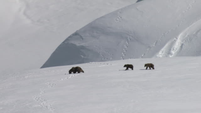 A grizzly bear and her cubs trek across a snowy mountain plateau.
