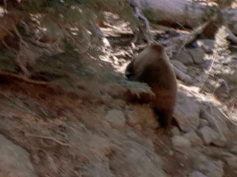 A grizzly bear climbs a rocky slope