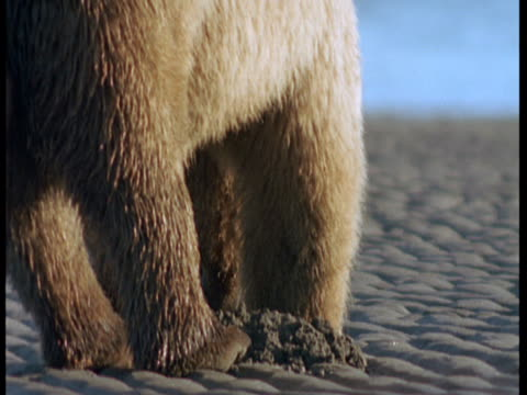 A grizzly bear digs in the sand at low tide.