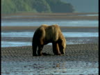 A grizzly bear forages on a beach at low tide.