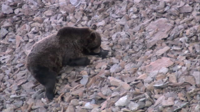 Grizzly bear (Ursus arctos) forages on scree slope, Yellowstone, USA