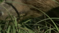 A grizzly bear forges on long grass.