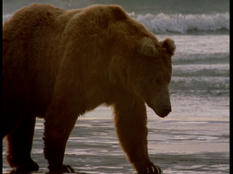 A grizzly bear prowls along a beach at low tide.