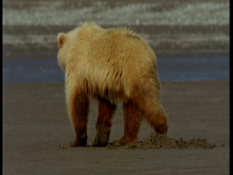 A grizzly bear sits on a sandy shore at low tide, then gets up and ambles away.