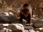 A grizzly bear walks across a rocky mountainside