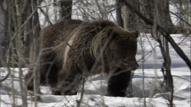 Grizzly bear (Ursus arctos) walks through snowy forest, Yellowstone, USA