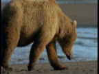 A grizzly bear wanders along a beach and turns over rocks.