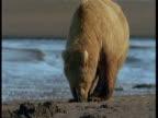 A grizzly bear wanders along a sandy beach in Alaska.
