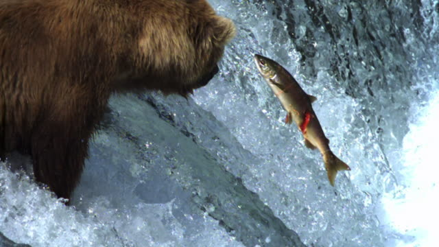 Grizzly bear watches rapids as salmon leaps past.