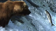 Grizzly bear watches salmon leaping up waterfall.