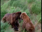 Grizzly bears fight over food