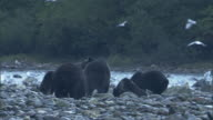 Grizzly bears forage along a rocky riverbank where seagulls flutter past.
