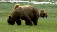 Grizzly bears forage in grass.