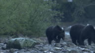 Grizzly bears forage on a rocky riverbank where seagulls fly overhead.