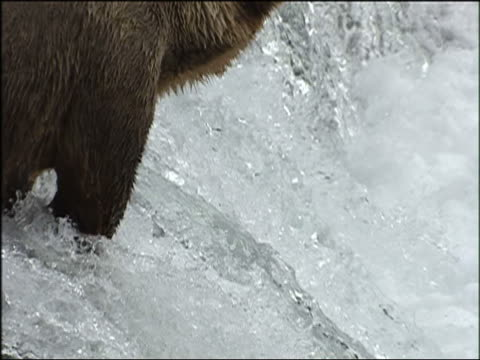 Grizzly bears in river eating salmon in Alaska in Summer 2005