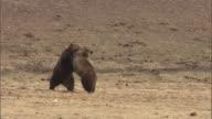 Grizzly bears (Ursus arctos) play fight, Yellowstone, USA