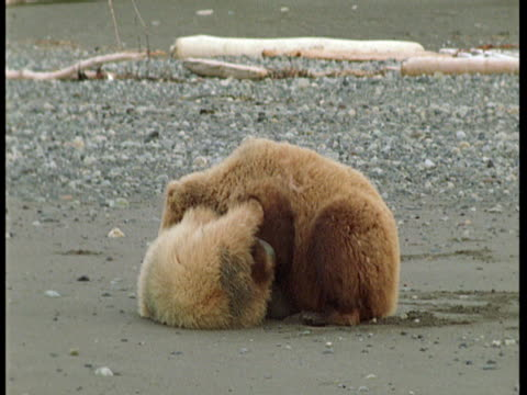 Grizzly bears wrestle on a rocky beach.