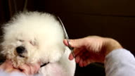 Grooming of the head of bichon frise