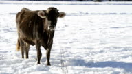 Grop of cows in the snow